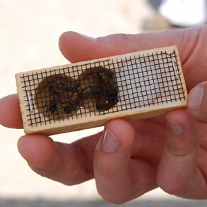 Hand holding a box with queen bees