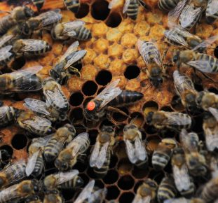 Queen bee, marked by a red dot, in the middle of other bees