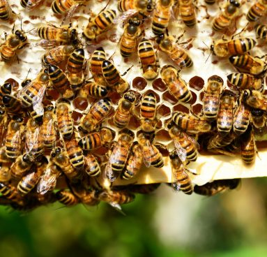 Lots of bees on a frame