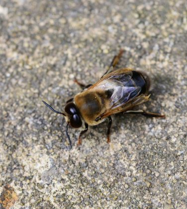 Example of what a drone bee looks like