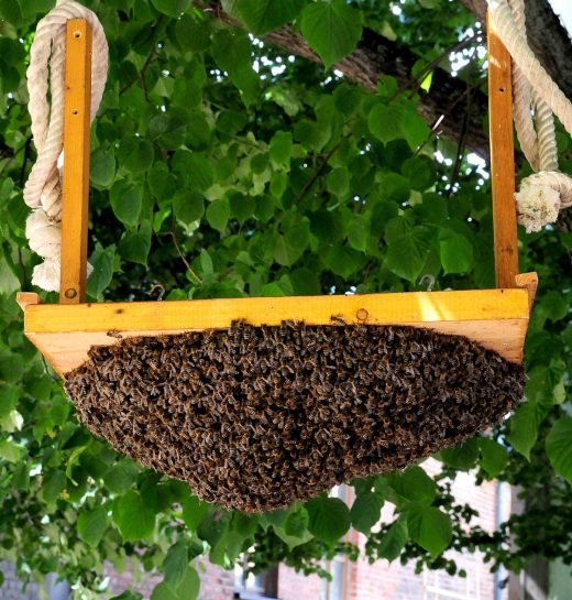 Swarm of bees that attached themselves to the bottom of a a wood tree swing