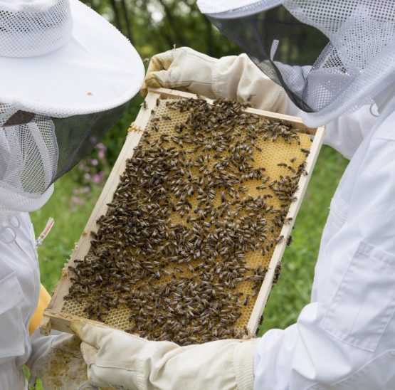 Two beekeepers looking at a hive frame full of bees